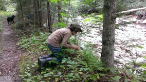 Collecting a few Chanterelle Mushrooms this week in the National Forest.